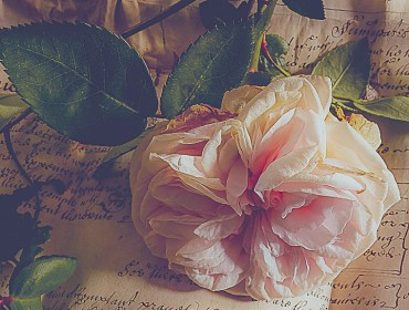 Blush Rose and Document Version 222
